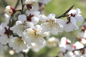 56017 春の粧